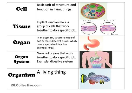QUARTER 3HUMAN BODY SYSTEMS Mrs McCanns Fifth Grade Class – Cell Specialization Worksheet